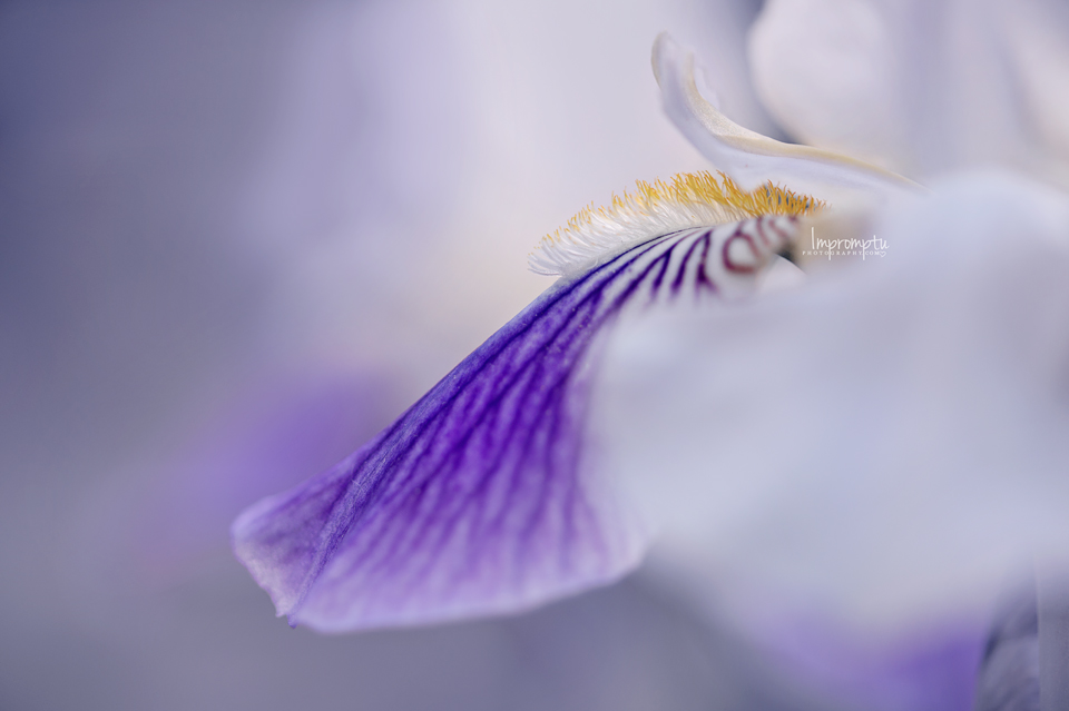 Siberian Iris ©ImpromptuPhotography