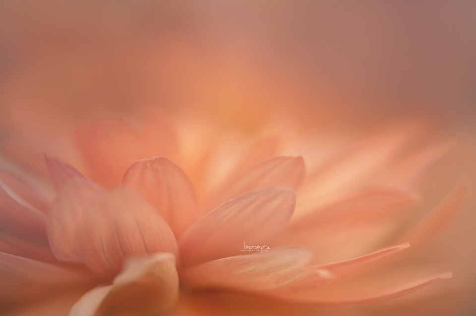 _56-05 10 2 Petals of a Dahlia.jpg