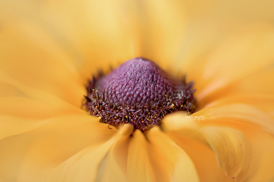 _296-06 24 Brown Eyed Susan.jpg