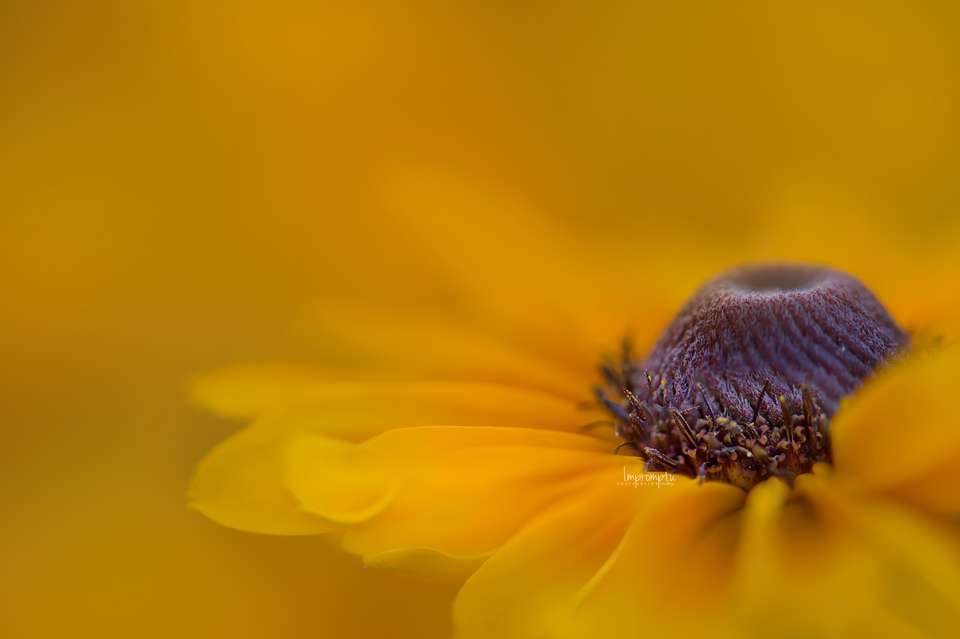 _487-07 23Brown Eyed Susan.jpg