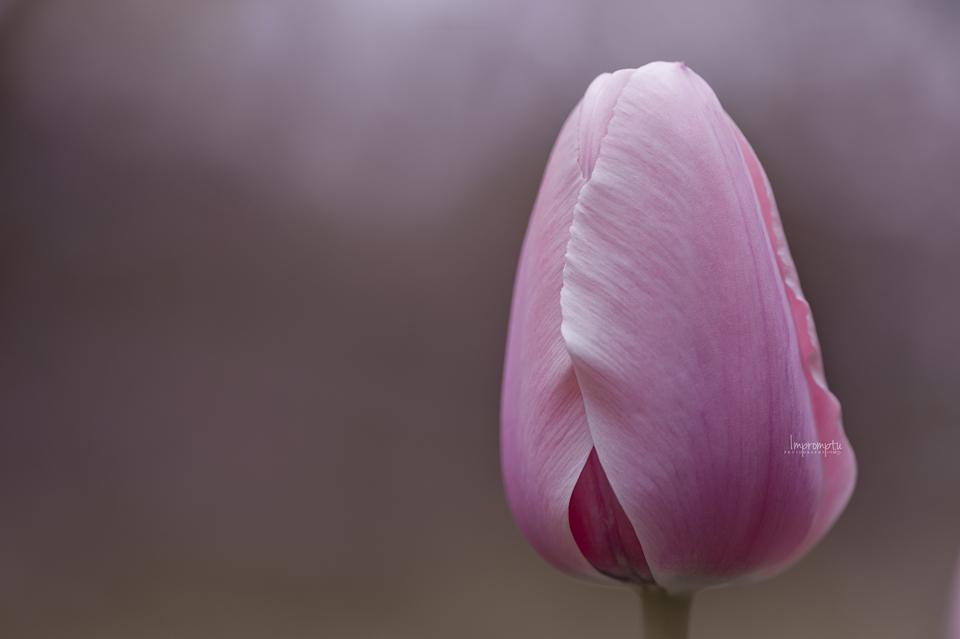 _395 04 29 Pink Tulip.jpg