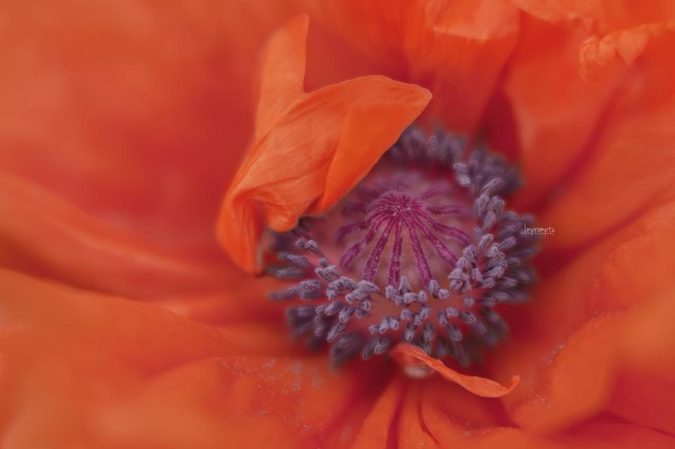 _80 05 19 2017  Orange wild poppy.jpg