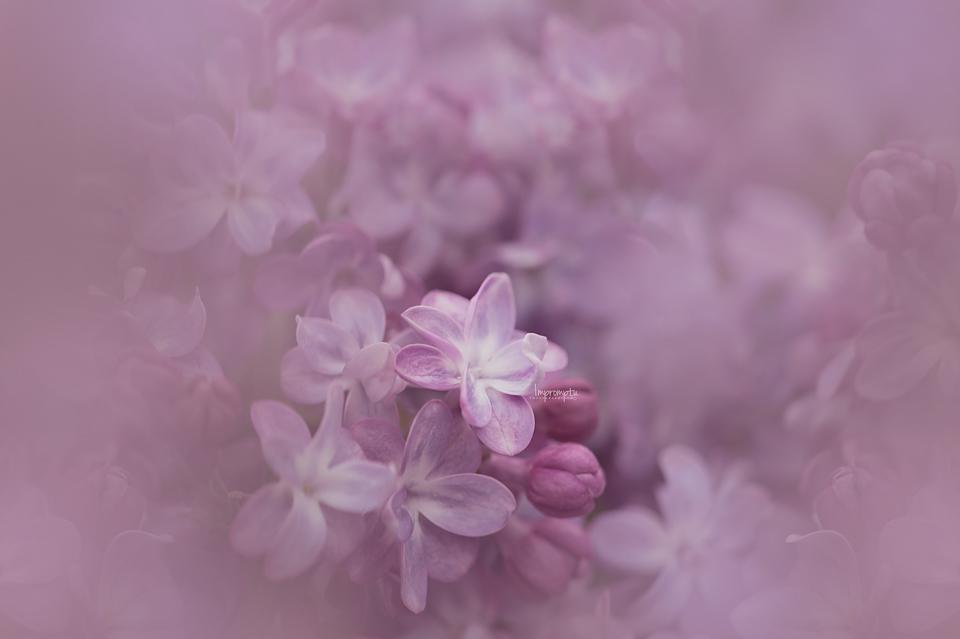 _177-05 13 Pink Lilac.jpg