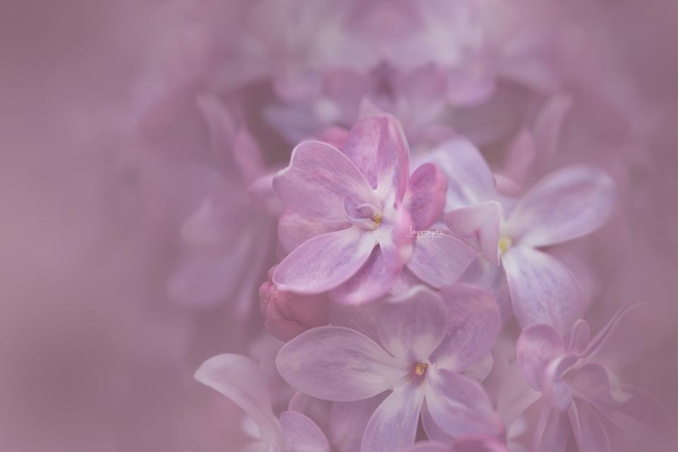 _203-05 13 Lilac.jpg