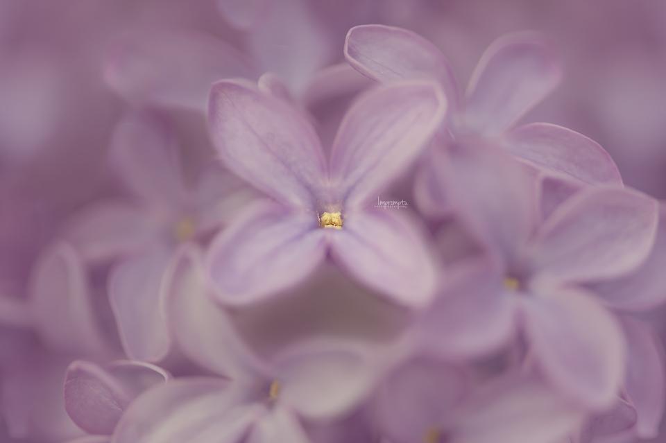 _50 05 06 Lilac.jpg
