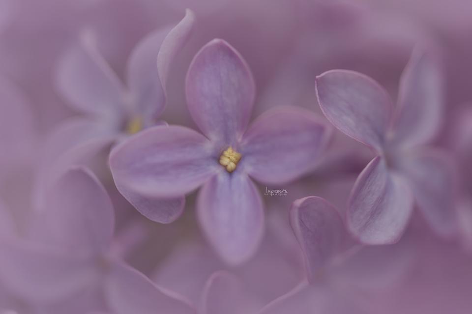 _70 05 07 Pink Lilac.jpg