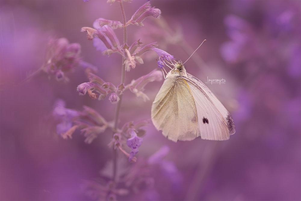 Cabbage Butterfly _135 12x 8 N 06 21 2017.jpg