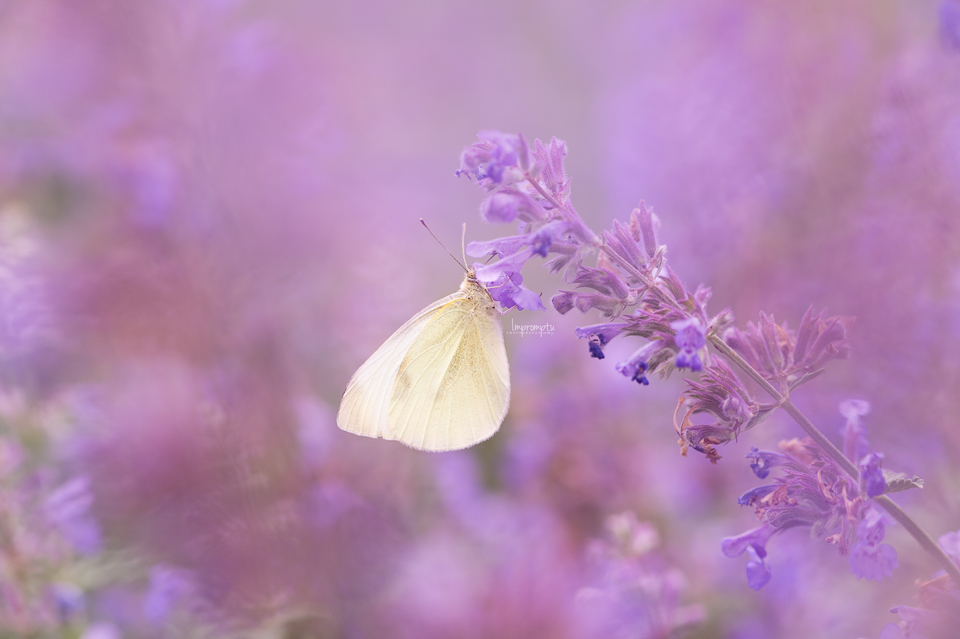 Cabbage butterfly on catmint _11 06 17 2017.jpg