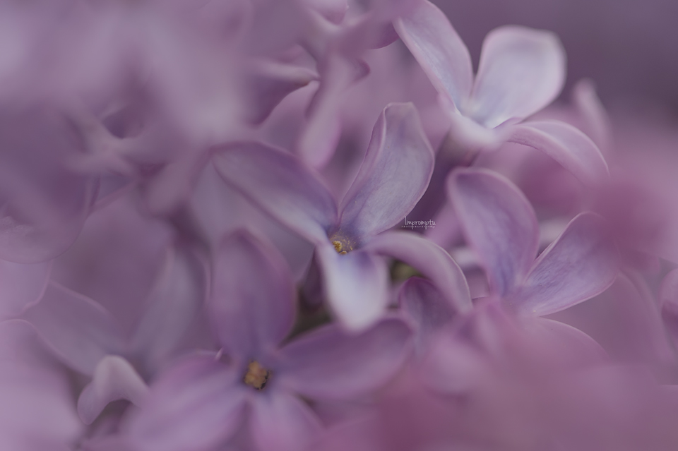 _197 05 07 Spring Lilac.jpg