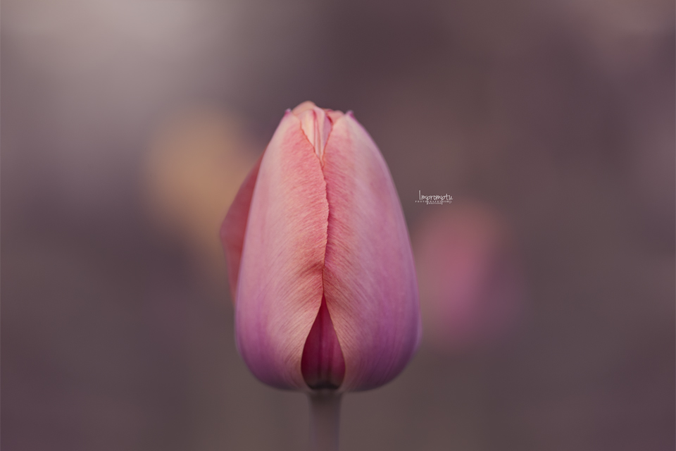 _119 2 04 14 Coral Tulip in the evening light.jpg