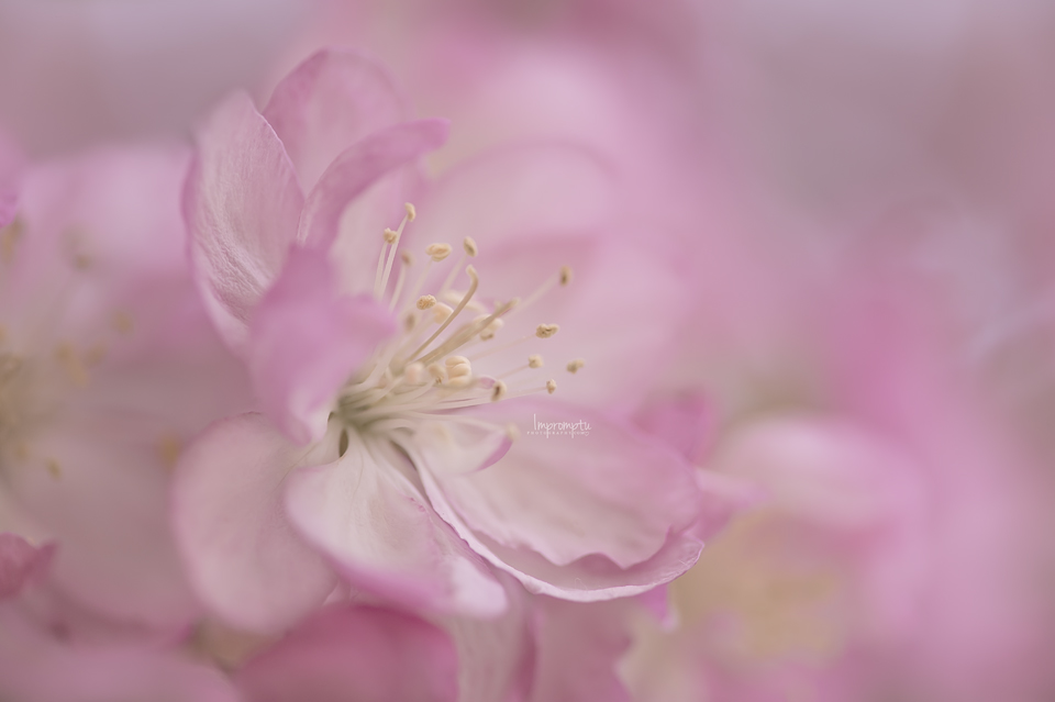 _237 05 03 Macro Crab Apple.jpg