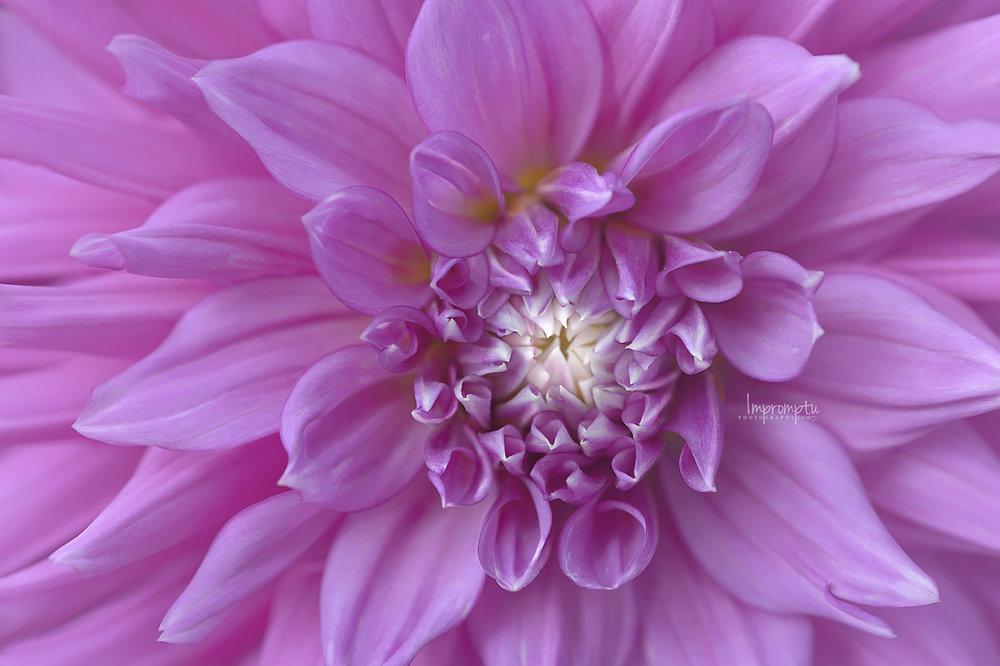 Purple Dahlia  _56 N 08 04 2017.jpg