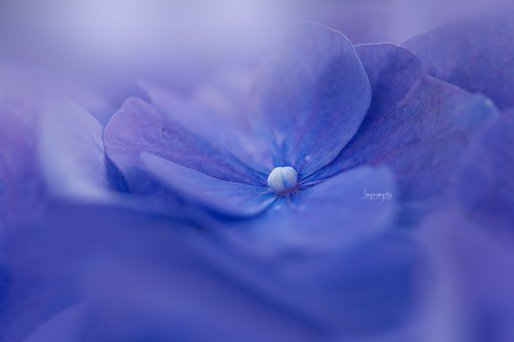 Blue Hydrangea  _131-2  N 07 26 2017.jpg