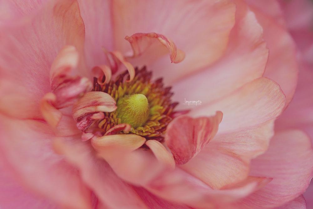 Ranunculus peach pink _47   N 07 02 2017 2.jpg