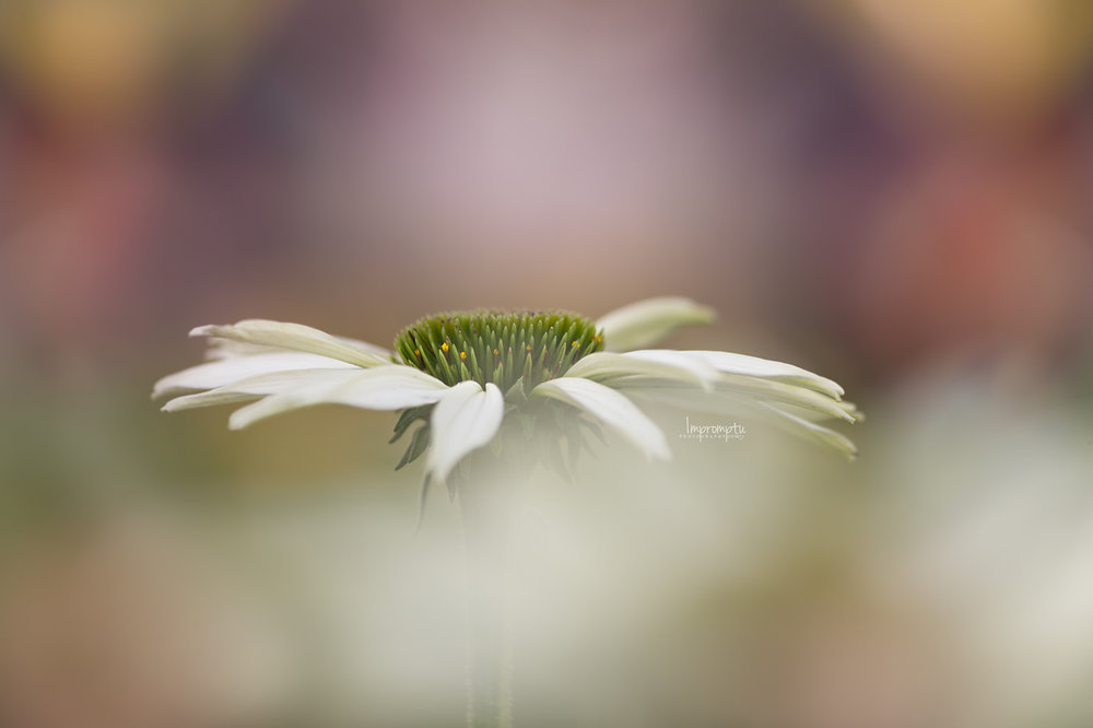 _65 White ConeFlower in the evening light ©impromptu photography.com 07 12 2017 .jpg