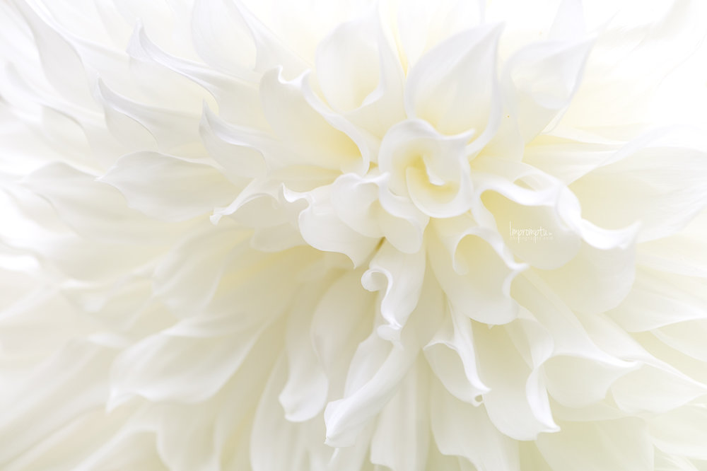_26 White Dahlia Angel Wings 10 12 2017.jpg