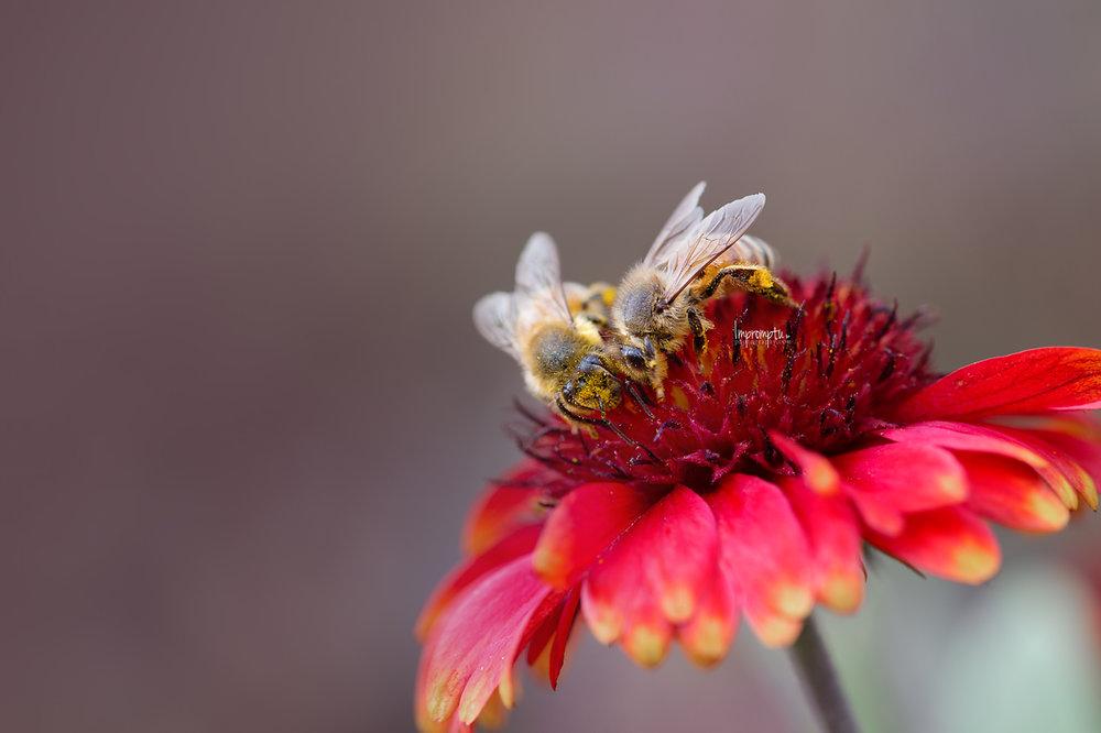 _393 Bees flower red 10 12 2017 .jpg