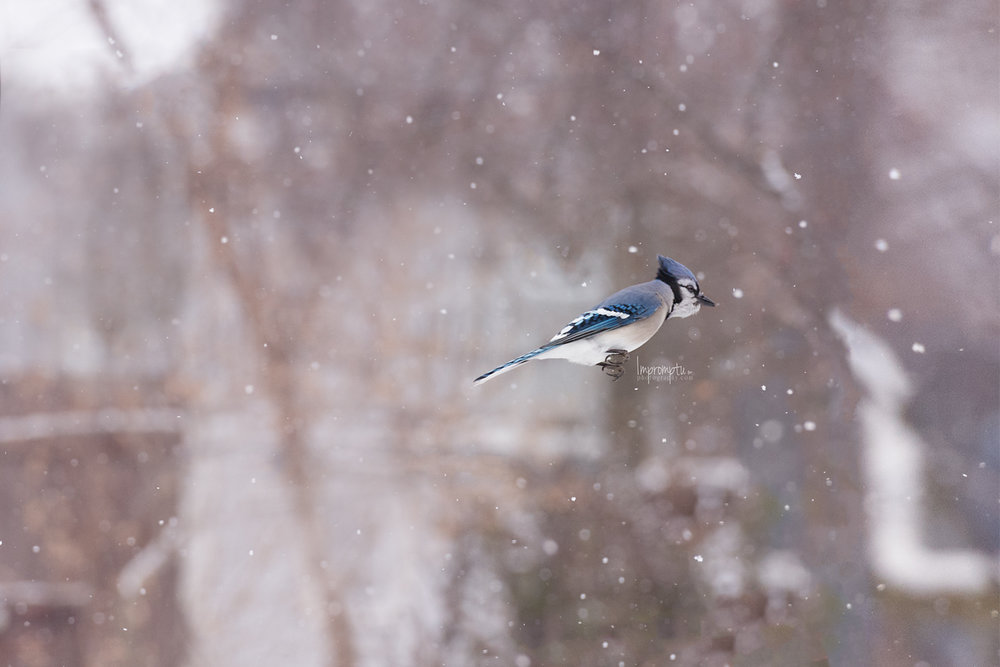 _97 12x8 BlueJay In Flight 12 11 2017 .jpg