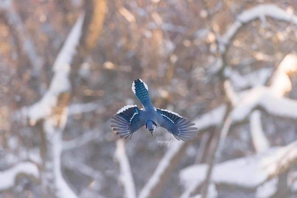 _112 12x8  Blue Jay downward flight in the winter morning .jpg