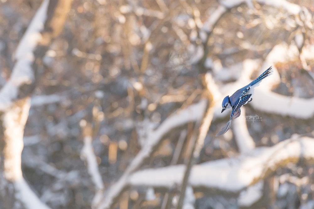 _274 12x8 BlueJay in flight early winter morningSS .jpg