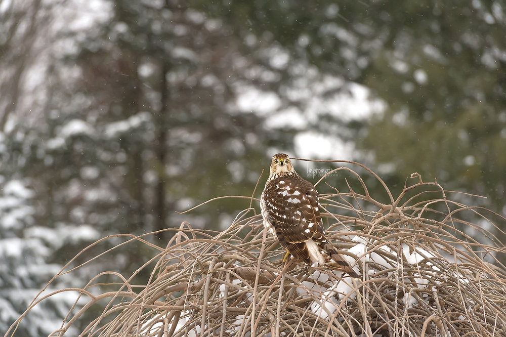 _310 Coopers Hawk in the winter .jpg