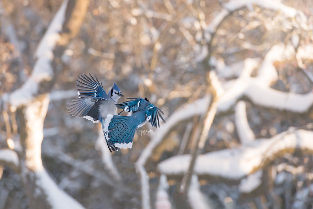 278 12x8  BlueJays in flight in the Winter .jpg