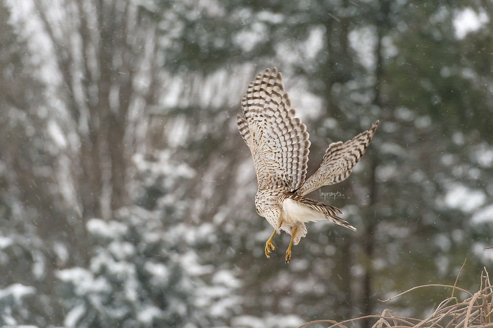 _318 Coopers Hawk in the snow .jpg