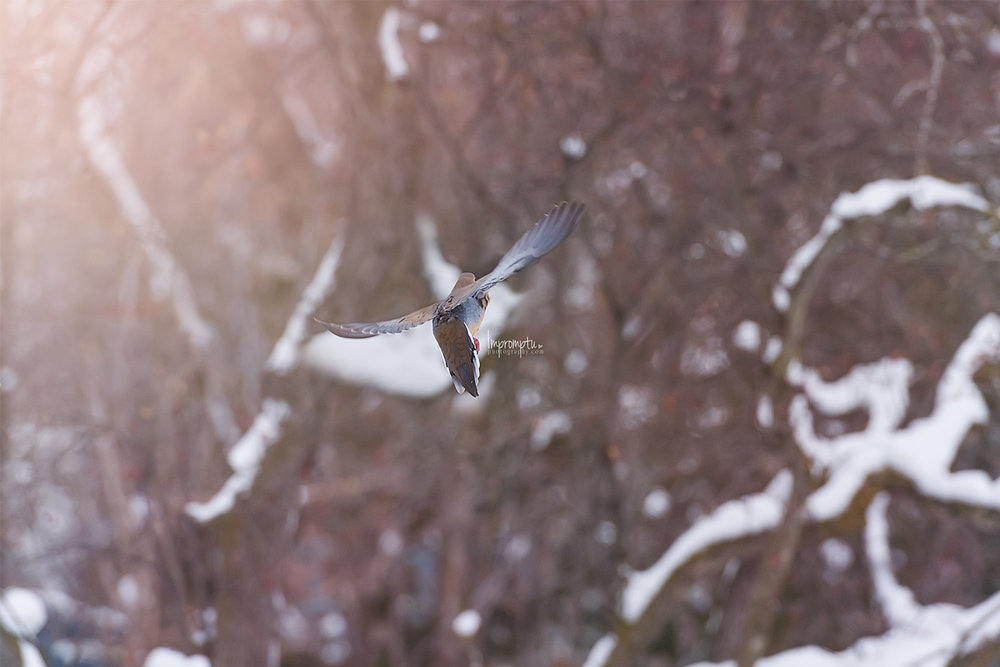 _135 2 12x8 Mourning Dove in flight in the Winter 12 17 2017 .jpg