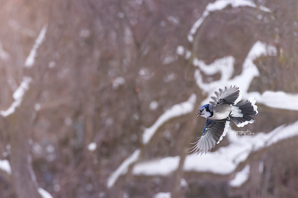_214 12x8  Blue Jay in flight with peanut in mouth winter 12 17 2017.jpg