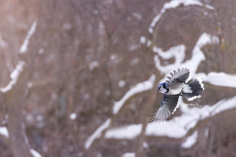 _214 12x8  Blue Jay in flight with peanut in mouth winter 12 17 2017.jpg