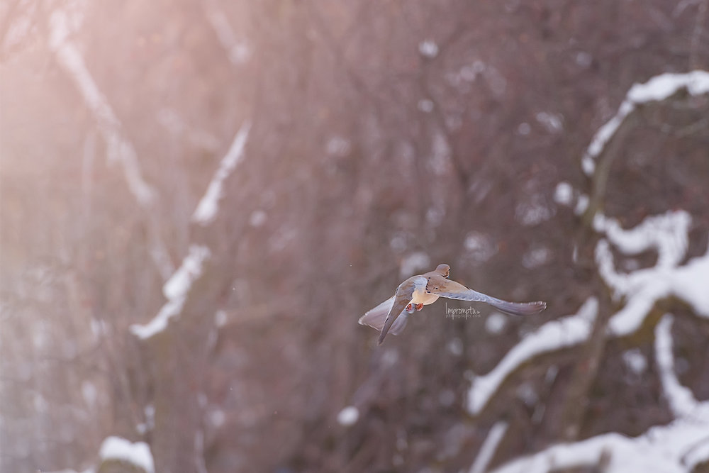 _256 12x8  Mourning Dove in flight in the winter snow 12 17 2017 .jpg