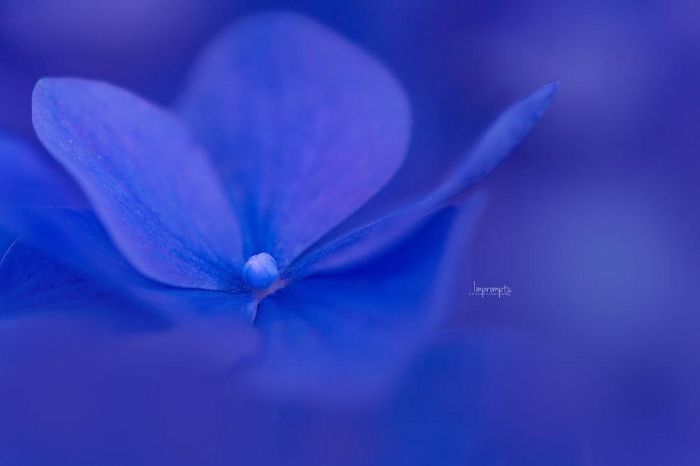 Blue Hydrangea _135  N 07 26 2017.jpg