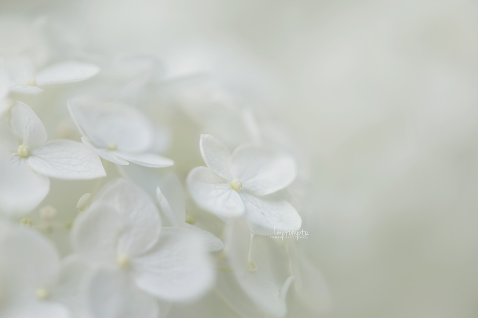 White Hydrangea _23- 07 06 2.jpg