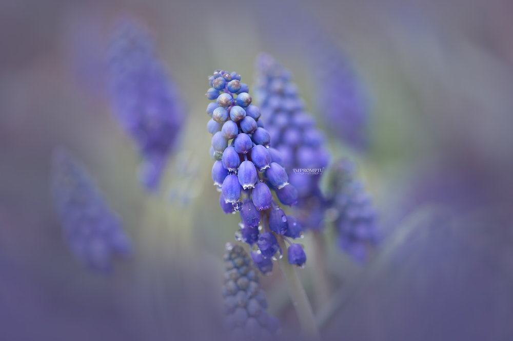 _9 05 03 2018 2  field of grape hyacinth.jpg