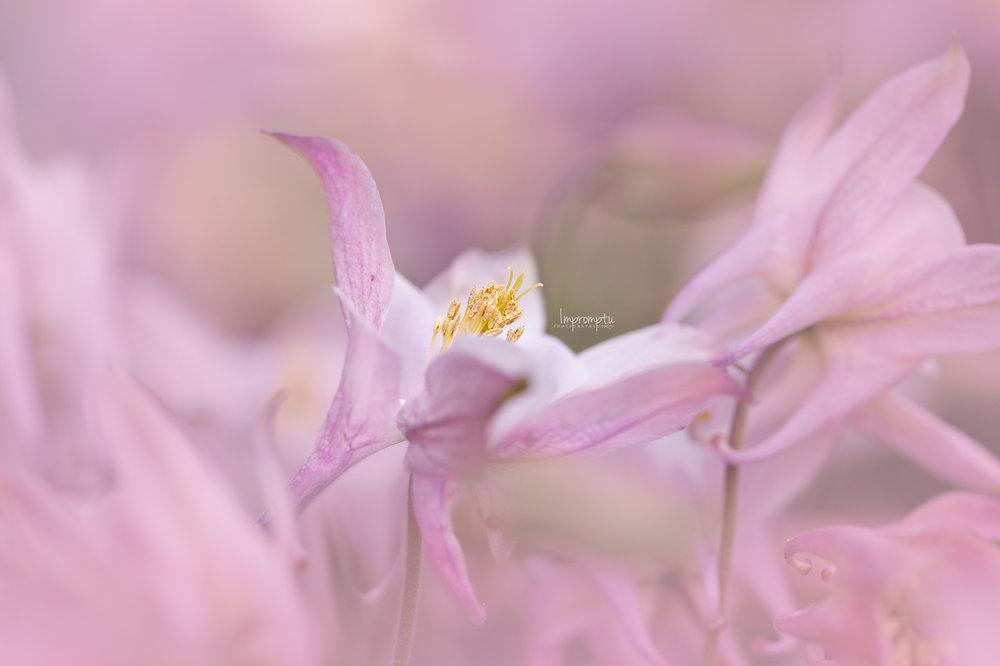 _65 05 24 2018 field of pink columbine flowers.jpg