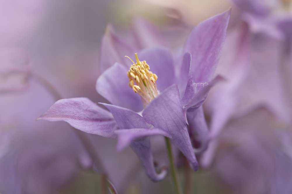_68 05 24 2018 purple columbine flower details.jpg