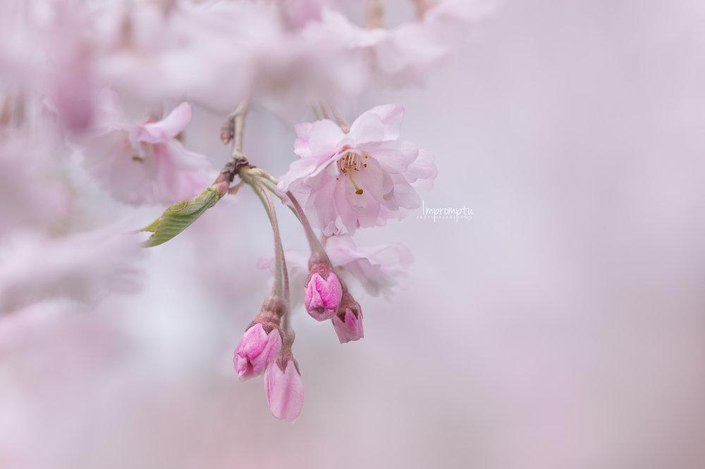 _105 05 06 2018  weeping cherry blossom.jpg