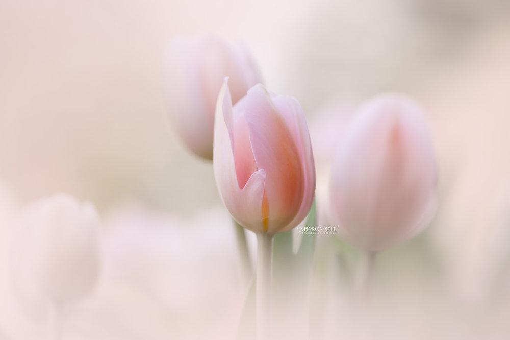 _111 03 31 2018 soft pink tulip in a field.jpg