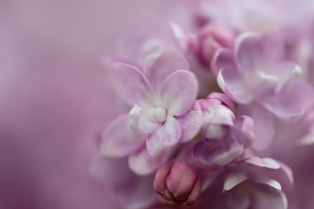 _131 05 20 2018  purple Lilacs in the spring details.jpg