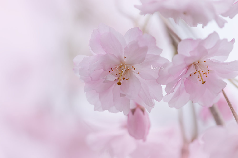 _163 05 06 2018  pink weeping cherry blossoms.jpg