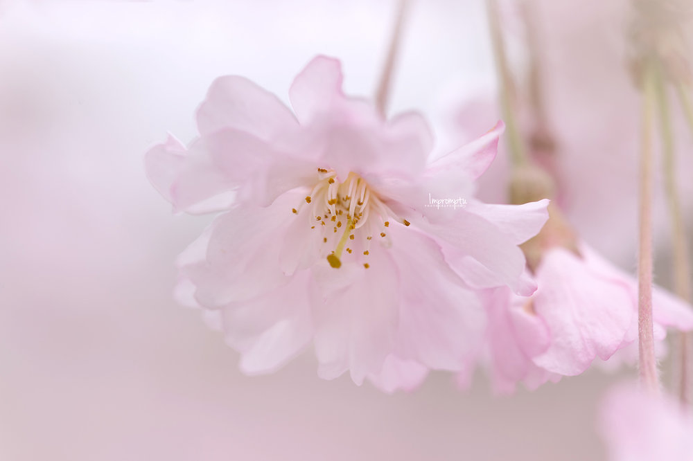 _187 05 06 2018 single pink weeping cherry blossom.jpg