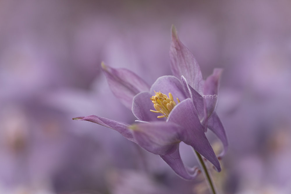_217 05 24 2018  purple columbine flower details.jpg