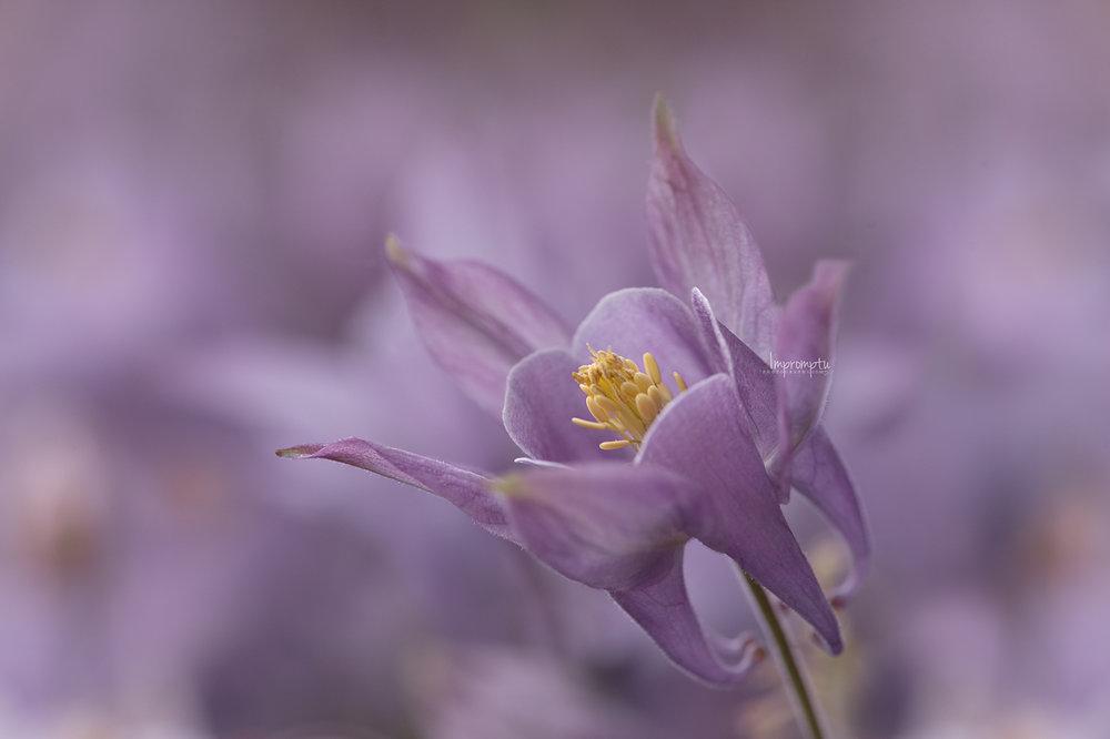_217 05 24 2018  purple columbine flower details.jpg