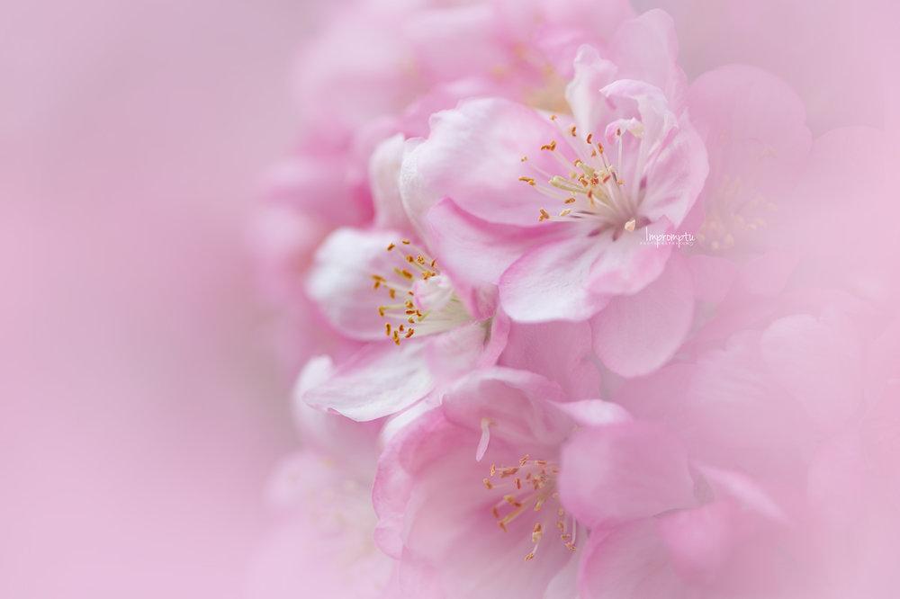 _276 05 15 2018  detials of a pink crabapple bloom.jpg