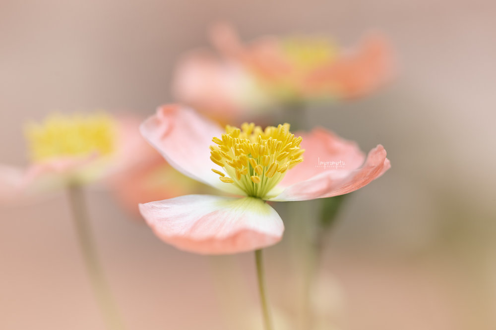 _333 05 20 2018  details of a miniature peach poppy.jpg