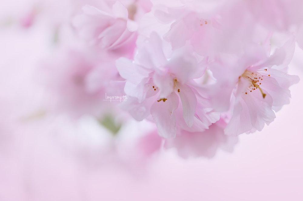 _350 05 06 2018 pink cluster of weeping cherry blossoms.jpg