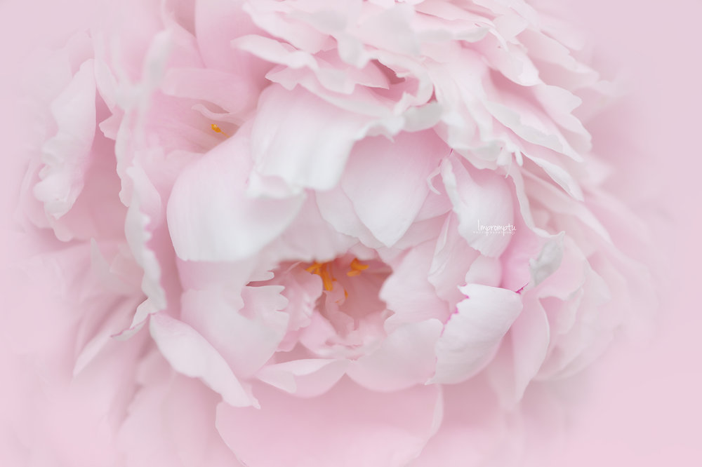 _13 06 05 2018 Peony Sorbet pink.jpg