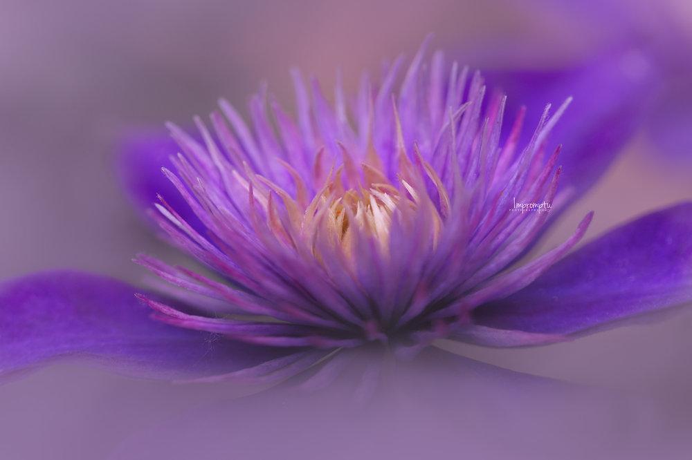 _17 06 25 2018 Purple Clematis Jackmanii.jpg