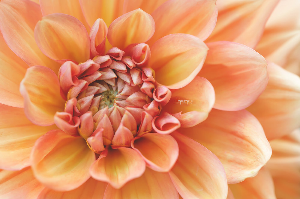 _25 2 07 29 2018 Orange Dahlia Icoon.jpg