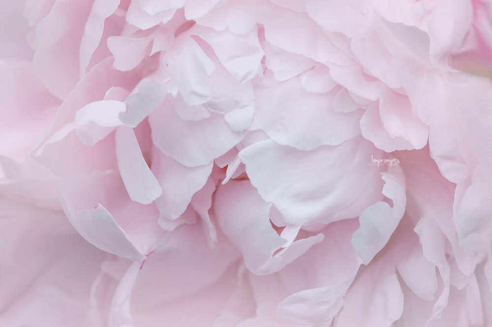 _53 06 05 2018 2 Details of a Peony sorbet pink.jpg